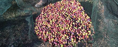 """Nos olives """"tournantes"""" pour notre «fruité vert"""
